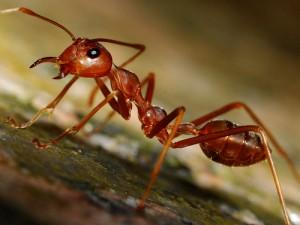 рыжий муравей